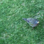 common-bronze-wing-pidgeon